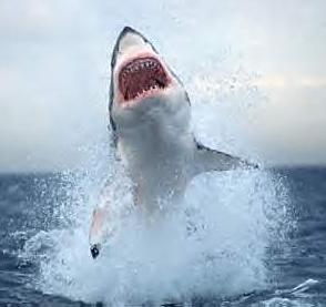 tiburon-blanco